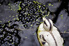 Special request from Annelie Woltjer (Tjerk.Aeiouy) Tags: duck pond frog eggs