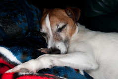 Long Day! (cali_cobra) Tags: dog pet flash terrier jackrussell d300