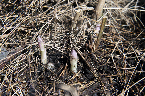 asparagus sprouts 064