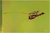 IL CUCCHIAINO - TEASPOON (Siprico - Silvano) Tags: canon natura macros potofgold macrofotografia cernuscosulnaviglio macrofografia buzznbugz siprico fotografianaturalistica soloreflex pricoco silvanopricoco wwwpricocoorg httpwwwpricocoorg