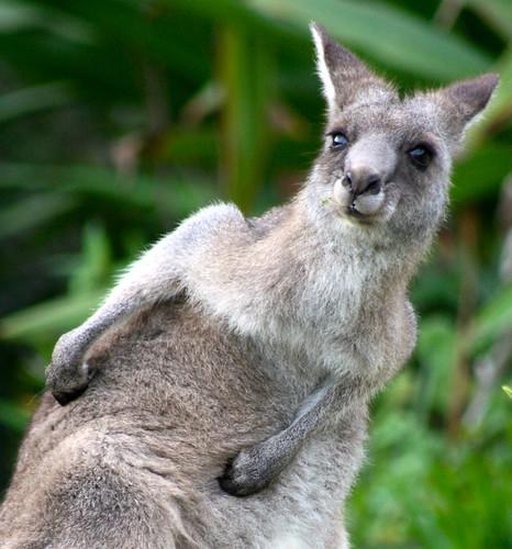Pebbly Beach Kangaroos Australia - 135