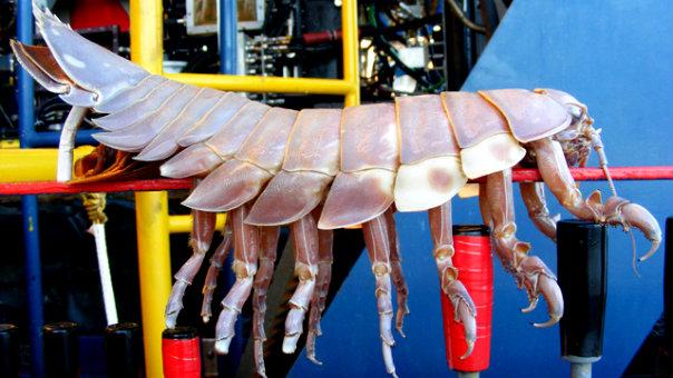 4_Giant_Isopod