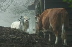 Tell you a story (Harry Mijland) Tags: holland farm nederland talking maarssen praten dearharry vechtenstein harrymijland