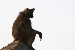20090904 Chobe 101 (blogmulo) Tags: africa park naturaleza nature animal fauna monkey mono wildlife safari national baboon botswana chobe babuino 200909 blogmulo