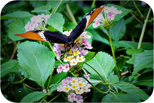 butterfly 7-09