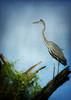 Bird....big bird....really big bird! (Blue Heron perhaps?) (MDSimages.com) Tags: bird texture florida textures blueheron stucktextures michaelsteighner mdsimages