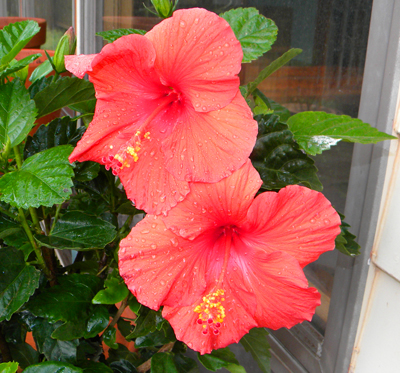 Hibiscus Double Bloom