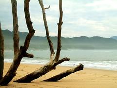 "lYY/ (...anna christina...) Tags: travel vacation plant beach nature brasil riodejaneiro plantas natureza viagens trindade supershot annachristina mywinners ""flickraward"" onlythebestofnature annachristinaoliveira"