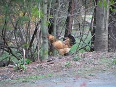 chicken! (madmax139) Tags: nature birds pennsylvania wildlife jonestown schuylkillcounty minehill