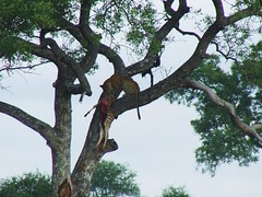Battling to get it up the tree (Jacques S G) Tags: africa wild nature animals southafrica predator mammals krugernationalpark carnivore big5 equusburchelli pantherapardus largetourssafaris savannahzebra