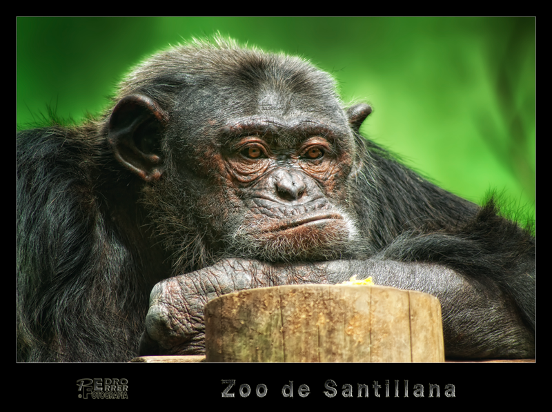 Chimpancé - Zoo de Santillana