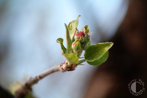 109-apple blossom