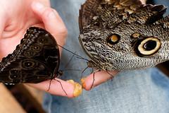 baudchon-baluchon-mindo-papillons-19