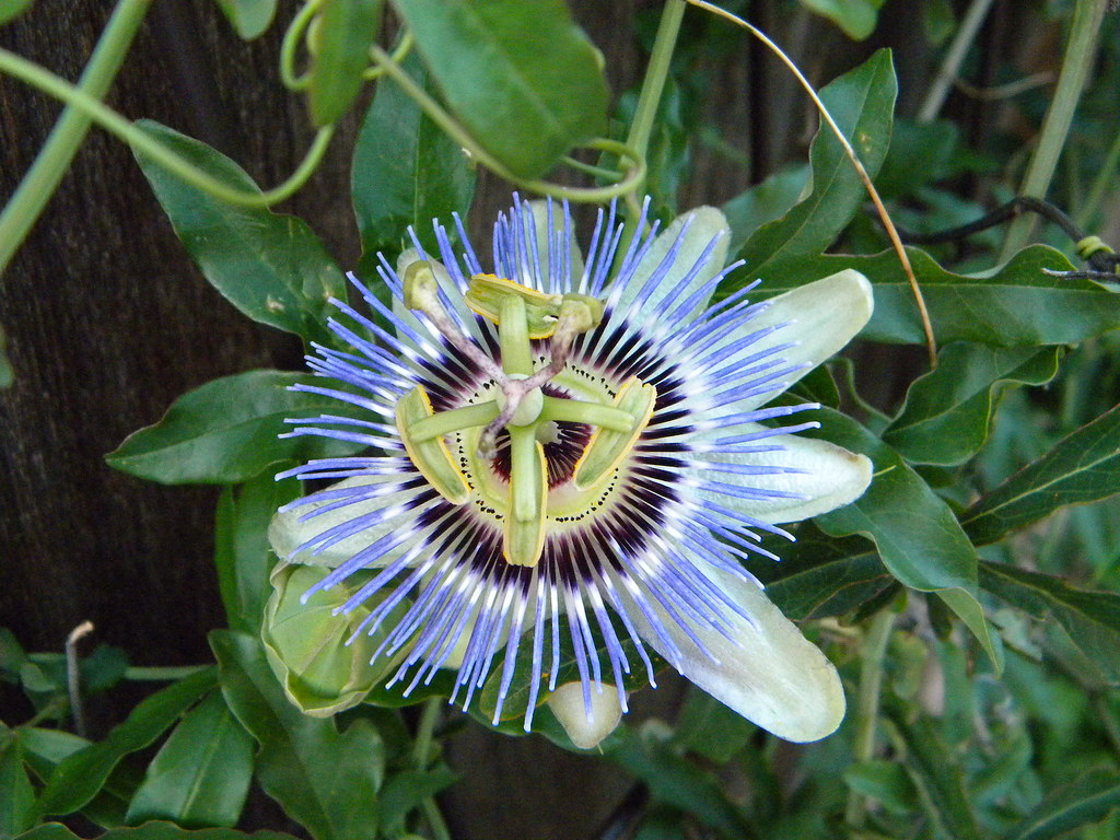 Pictures of Passiflora Caerulea (Passion Vine)