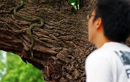 Paradise tree snake in NUS