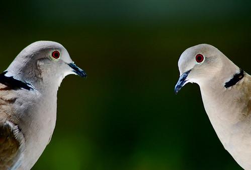 フリー写真素材, 動物, 鳥類, ハト科, 鳩・ハト,