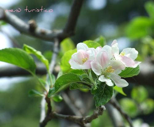 fiori e totanetti aprile 2010 006