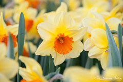 Narcis 'Fortissimo' (sbailliez) Tags: flowers plants nature netherlands colors colorful sigma bloom catchy narcis keukenhof fortissimo flowersgarden lisse southholland dopplr:explore=dvo1
