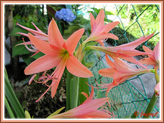 Reliable salmon-coloured Hippeastrum at our backyard, flowering for Easter Season