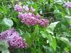IMG_2942 (shame00) Tags: cadogangardens may2010 may12010