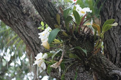 Orchids in the oak tree