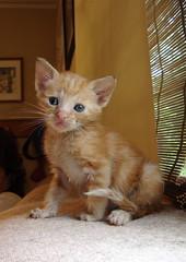 Tiny Yellow One (rootcrop54) Tags: orange cat kitten chat tabby foster gato 猫 macska gatto kot kočka kedi chatte katt runt kissa köttur mačka kucing кошка 고양이 katė γάτα bottlefed maček kaķis gorbe bestofcats catmoments pisică