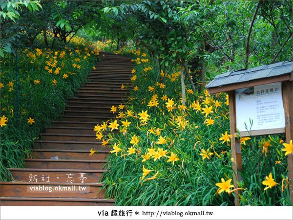 【台中休閒農場】2010金針花~新社沐心泉金針花2