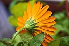 Shyness (Senzio Peci) Tags: italy orange flower macro verde green nature yellow leaf italia natura giallo gerbera sicily foglia fiore sicilia arancione shyness timidezza paternò intothedeepofmysoul
