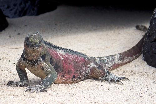 Española Red Iguana (Amblyrhynchus) Stares Back