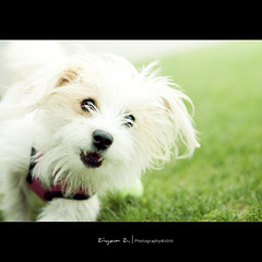 Cute puppy (Ziyan | Photography) Tags: dog canada puppy quebec montreal 5d     ziyan  24105mm  bokehhearts