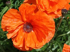 Bright Orange Poppies (sylkky2) Tags: flowers orange flores macro green nature fleur blossoms poppy bloom picturesque blum masterphotos anawesomeshot awesomeblossoms