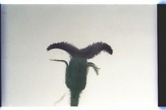 24   080927-1598-010300 (h35312) Tags: 24  aspera ulmaceae planch thunb urticales   aphananthe      0809271598010300