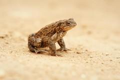 Toad (Bufo bufo) (DJLDorset (Takin' a break for a while)) Tags: nature fauna wildlife sony toad dorset bufobufo warehamforest alphaa700 davidlongshaw