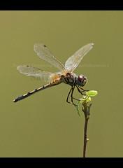 Dragonflies & Damselflies of Sri Lanka, Species No 16 (Sara-D) Tags: macro nature asia dancing dragonflies insects sl srilanka ceylon lk damselflies deva libellulidae sarad saranga dropwing sarangadevadealwis sarangadeva dancingdropwing