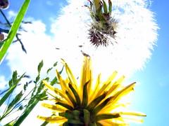 generations - in  the  meadow (marfis75) Tags: flowers summer sky flower detail macro clock up fuji view sommer meadow wiese himmel blumen dandelion cc f30 finepix creativecommons grn generations hayfield blume grassland makro unten microcosmos nowandthen vorher dandelionclock lwenzahn pusteblume blowball bluemen generationen nachher sommerwiese altneu uptothesky untersicht vorhernachher nacher ccbysa detailaufnahme marfis75 marfis75onflickr putseblume