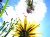 generations - in  the  meadow (marfis75) Tags: flowers summer sky flower detail macro clock up fuji view sommer meadow wiese himmel blumen dandelion cc f30 finepix creativecommons grün generations hayfield blume grassland makro unten microcosmos nowandthen vorher dandelionclock löwenzahn pusteblume blowball bluemen generationen nachher sommerwiese altneu uptothesky untersicht vorhernachher nacher ccbysa detailaufnahme marfis75 marfis75onflickr putseblume