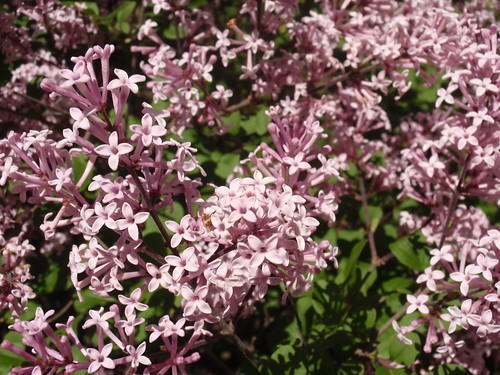 Lilacs in Bloom
