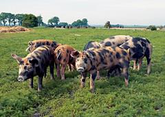 Pigs from ngavallen (Sknska Matupplevelser) Tags: food grass animal animals gris pig skne sweden mat pasture pigs sverige djur grisar ngavallen sknskamatupplevelser pigsfromngavallen grisarfrnngavallen
