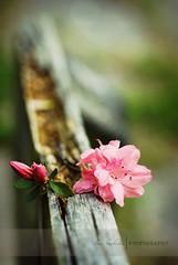 azalea on wood (Lani Barbitta) Tags: wood pink flower texture iso200 dof blossom depthoffield azalea shallow f32 60mm28 nikond80 nikkormacro shutterspeed1200sec lanibarbitta