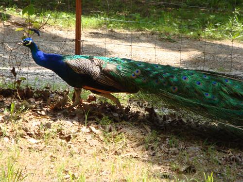 Stray Peacock