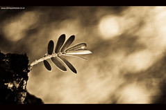 Stand Alone! (Bharathi mainthan) Tags: tree green nature beauty sepia contrast photoshop photography leaf nikon branch top edited highcontrast adobe 1855 toned processed lightroom cs3 postprocessing dhina d40 dhinawithlove wwwdhinawithloveconr bharathimainthan dhinathayalan