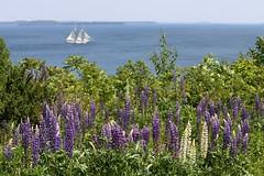 Wish You Were Here (Erica Robyn) Tags: ocean summer white nature sailboat island purple maine newengland lupine islesboro islesboromaine ericarobynphotography ericarobyn