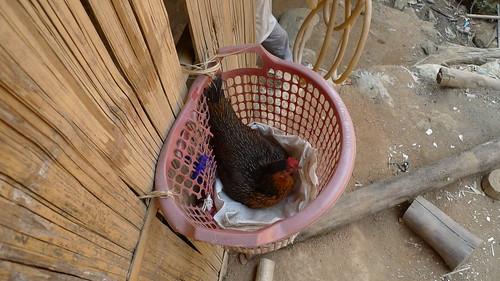 長頸族飼養的雞