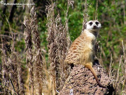 IMG_3106-WDW-DAK-meercat-sentry-WDW-DAK-meerkat-sentry