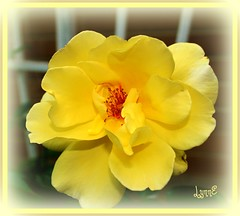 1st Rose to Open in the Garden (Lynn English) Tags: yellow garden climber forgot goldenshowers bej fantasticflower flickrsfantasticflowers macromarvels cherryontopphotography qualitypixels mamasbloomers 1stwasjosephscoat fickrsawesomelossoms