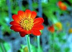 Midnight garden (xeno(x)) Tags: blue orange flower macro green nature canon garden asia zinnia 2007 xeno 400d overtheexcellence