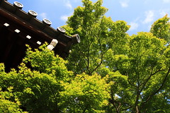 a maple tree (Teruhide Tomori) Tags: travel nature leaves japan garden temple leaf kyoto   nippon  kansai japon  jepang