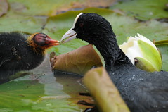 coot feeding chick (darrell-09) Tags: chick coot chesteruk fulicaatra naturesfinest slbfeedingyoung