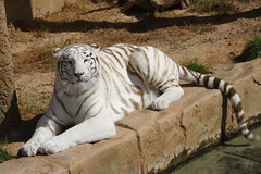 IWhite Tiger at Rancho Texas, Lanzarote (Ian Press Photography) Tags: white animal cat zoo big spain texas tiger lanzarote spanish bigcat canary canaries rancho captivity