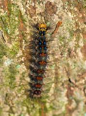 Gypsy Moth On Tree Trunk (aeschylus18917) Tags: danielruyle aeschylus18917 danruyle druyle ダニエルルール ダニエル ルール japan 日本 nikon d700 105mmf28gvrmicro insect moth gypsymoth caterpillar larva insecta lepidoptera lymantriidae lymantria lymantradispar macro nature 幼虫 insects rhopalacera butterfly ガ 蛾 lymantriadispar マイマイガ 105mmf28 105mm nikkor105mmf28gvrmicro pxt